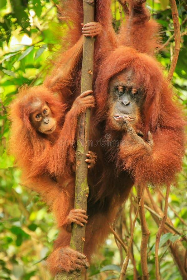KvinnligSumatran orangutang med ett behandla som ett barnsammanträde på ett träd i Gunun fotografering för bildbyråer
