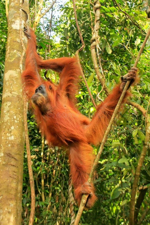 KvinnligSumatran orangutang som hänger i träden, Gunung Leuser Na arkivfoton