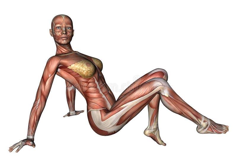 Download Kvinnligt anatomidiagram stock illustrationer. Illustration av barn - 37344552