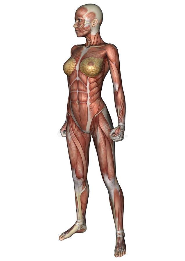 Download Kvinnligt anatomidiagram stock illustrationer. Illustration av diagram - 37345061
