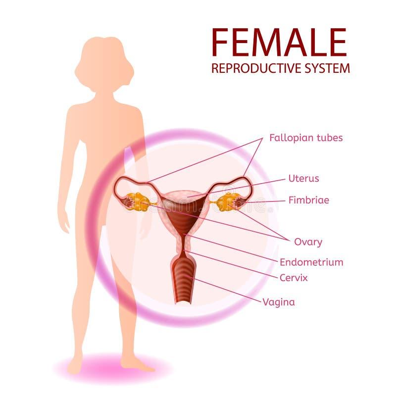 Kvinnligt anatomiskt baner för reproduktivt system royaltyfri illustrationer