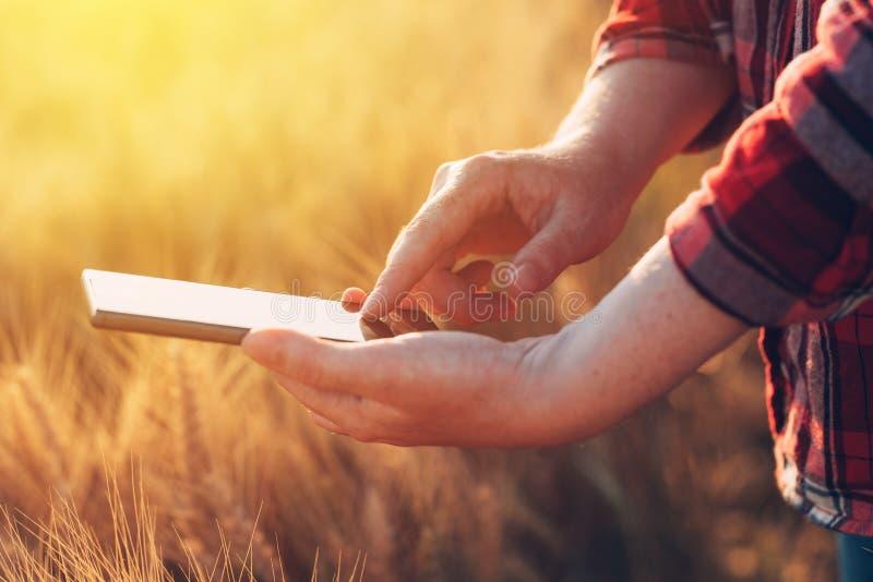 Kvinnligt bondeanseende i vetefält och användamobiltelefon royaltyfri fotografi