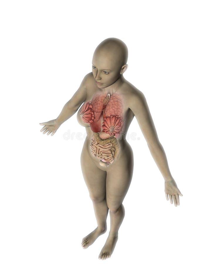 kvinnligt diagram 3D med utsatta inre organ stock illustrationer