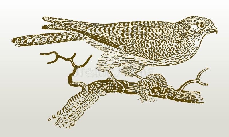 Kvinnligt gemensamt sammanträde för tornfalkfalcotinnunculus på en filial som rymmer ett rov i dess jordluckrare vektor illustrationer