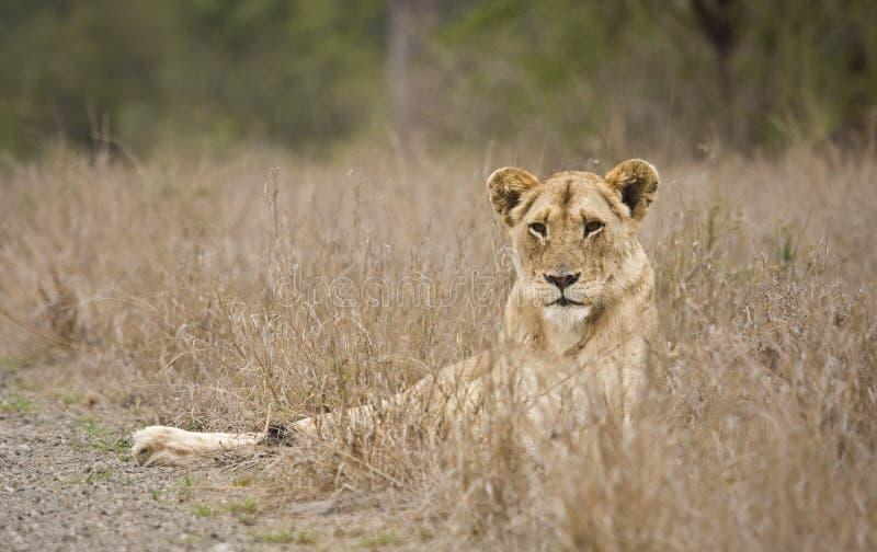 Kvinnligt lejon i den Kruger nationalparken, Sydafrika arkivbilder