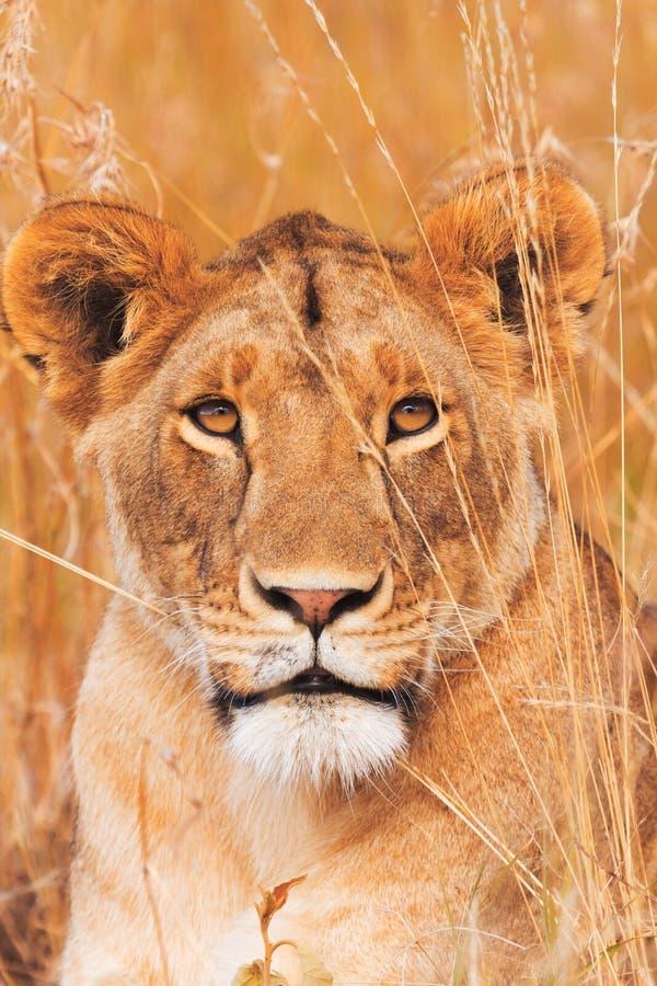 Kvinnligt lejon i masaien Mara arkivbild