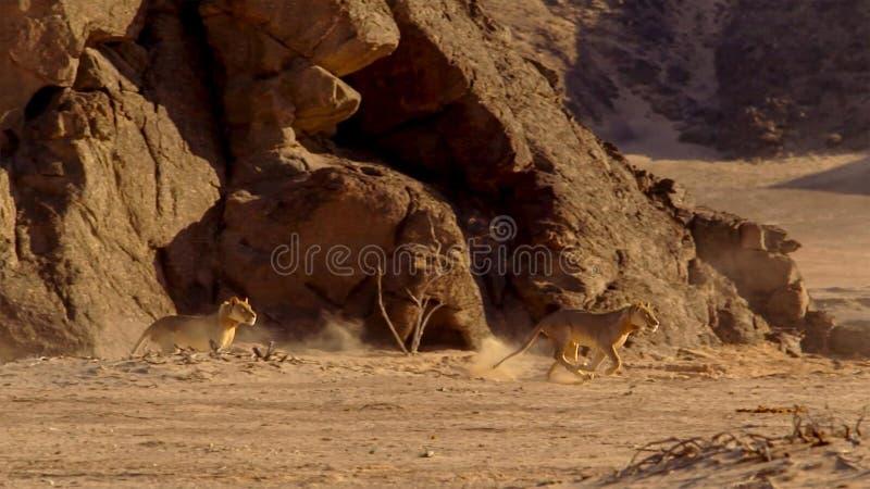 Kvinnligt lejon som kör i afrikansk bushveld, Namib öken, Namibia royaltyfria foton