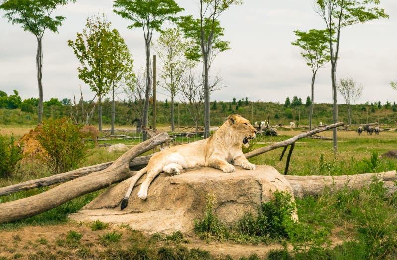 Kvinnligt lejonsammanträde på en vagga royaltyfri fotografi