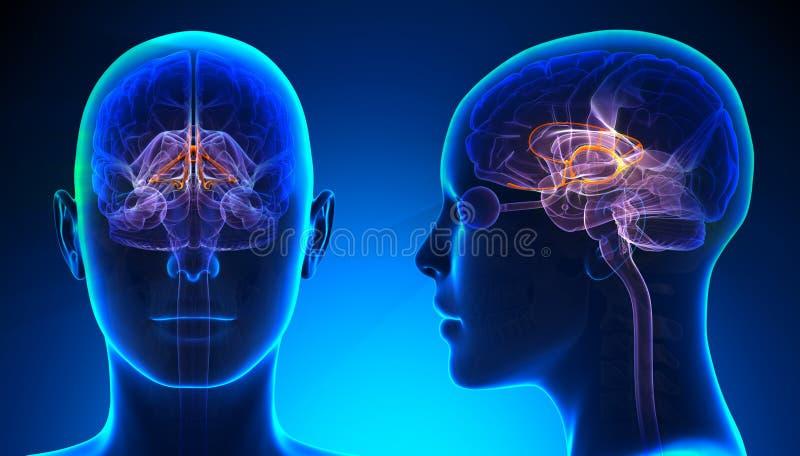 Kvinnligt Limbic system Brain Anatomy - blått begrepp royaltyfri illustrationer