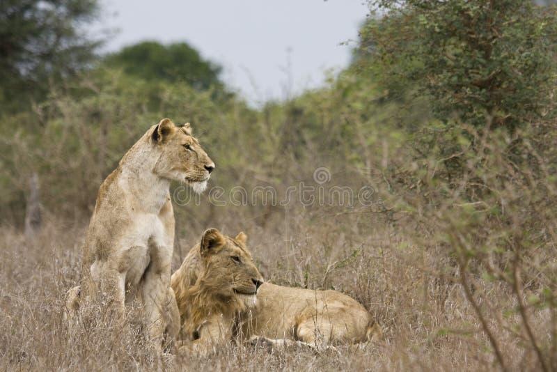 Kvinnligt och ungt manligt lejon i den Kruger nationalparken, Sydafrika royaltyfri bild