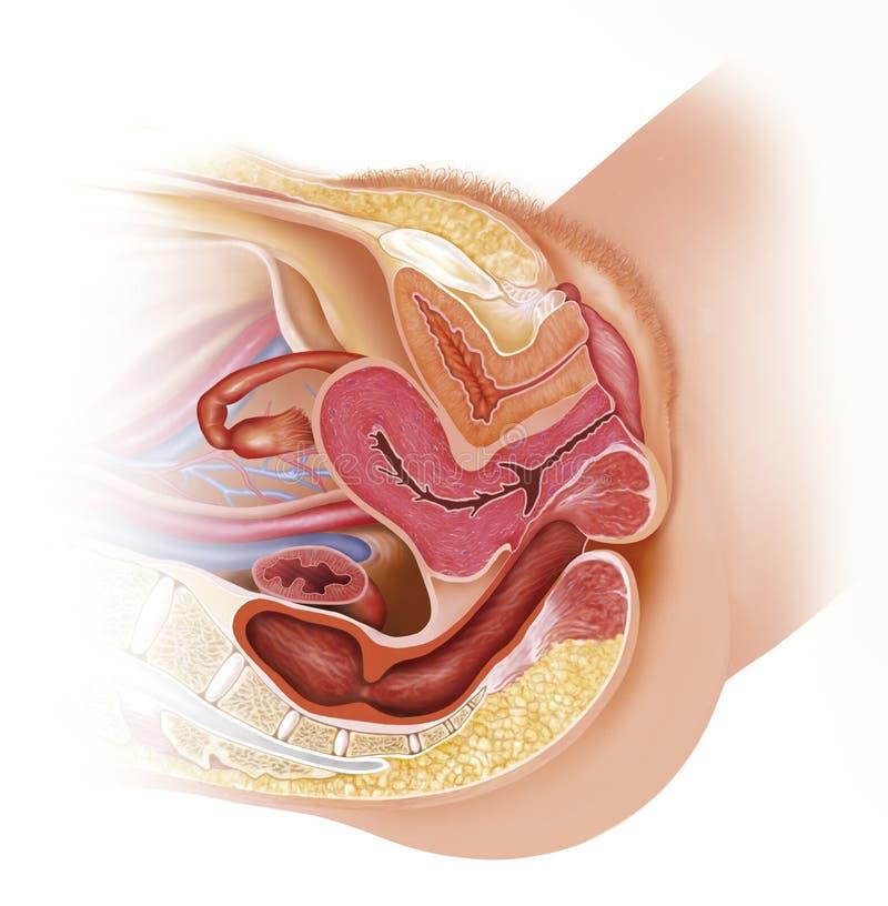 Kvinnligt reproduktivt område stock illustrationer