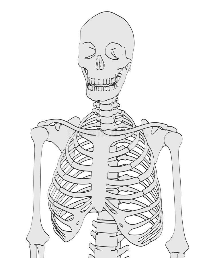 Kvinnligt skelett vektor illustrationer