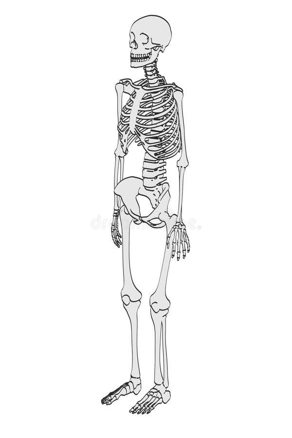Kvinnligt skelett stock illustrationer