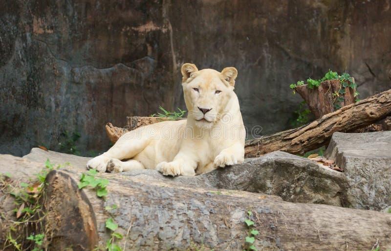 Kvinnligt vitt lejon fotografering för bildbyråer