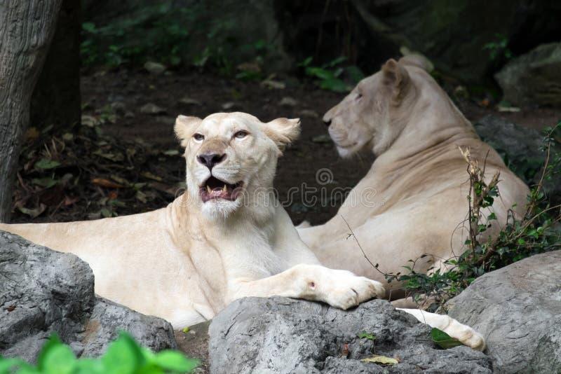 Kvinnligt vitt lejon som ligger på vagga royaltyfri bild