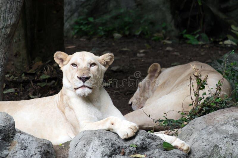 Kvinnligt vitt lejon som ligger på vagga royaltyfri fotografi