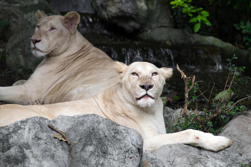 Kvinnligt vitt lejon som ligger på vagga arkivfoton