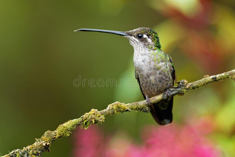 KvinnligTalamanca kolibri - Eugenes spectabilis är den stora kolibriuppehället i Costa Rica och Panama arkivfoto