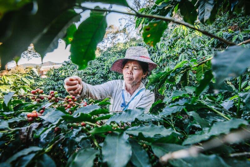 Kvinnor från Thailand som väljer rött kaffe, kärnar ur på kaffekoloni fotografering för bildbyråer