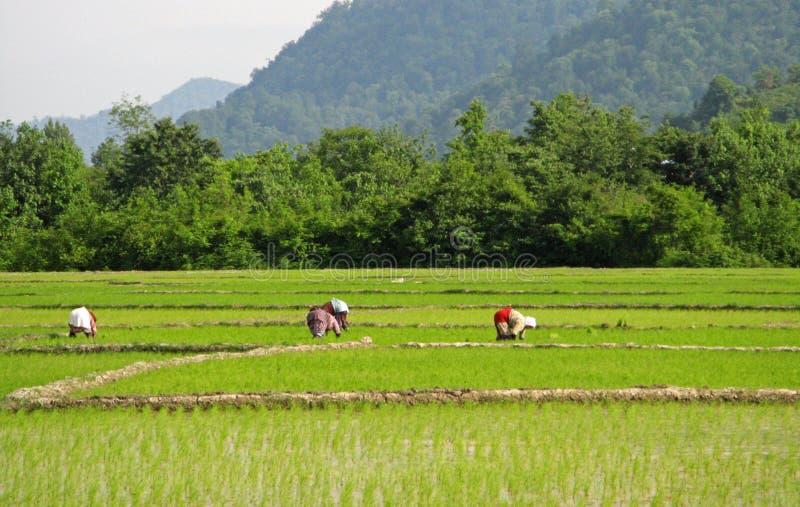 Kvinnor som arbetar på rislantgården, Guilan arkivfoto