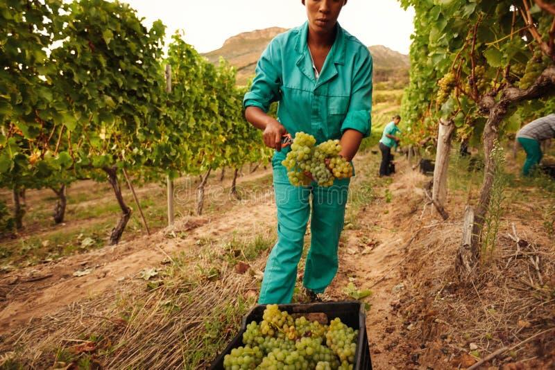 Kvinnor som skördar druvor i vingård royaltyfri bild