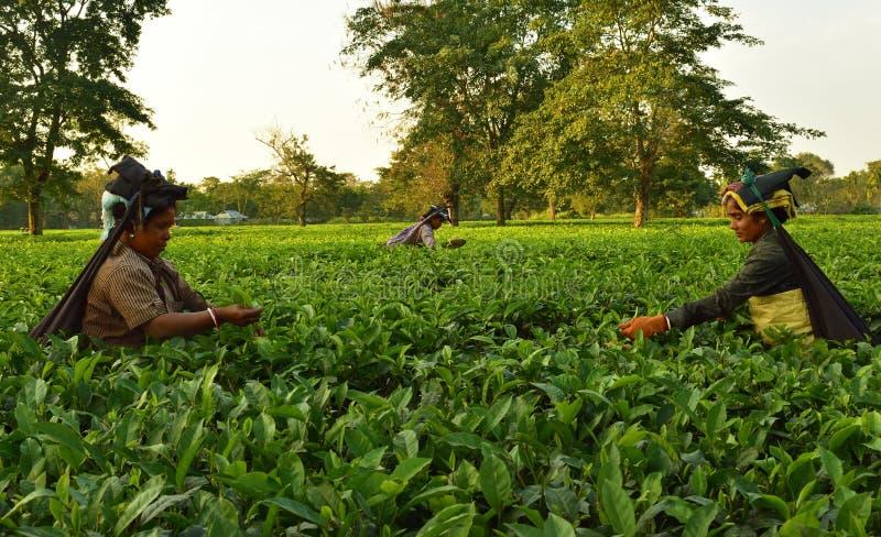 Kvinnor väljer upp teblad vid handen på teträdgården i Darjeeling, en av det bästa kvalitets- teet i världen, Indien royaltyfri foto