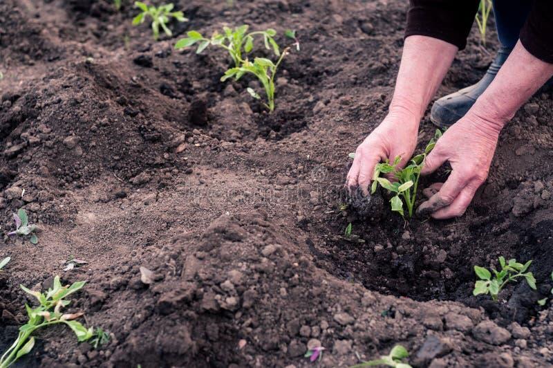 Kvinnors händer transplanterade plantor arkivfoton