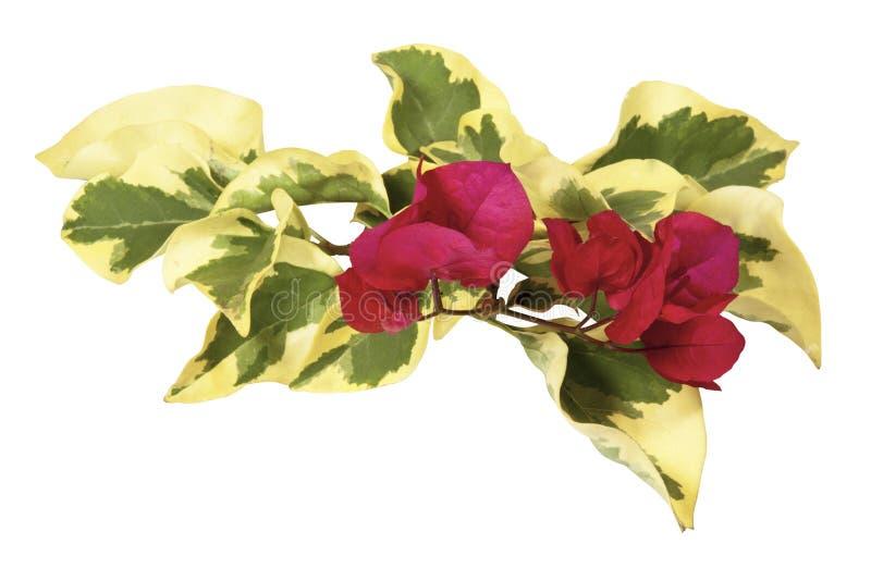 Kvist av nyanserade bougainvilleasidor med Cerise Flowers royaltyfri bild