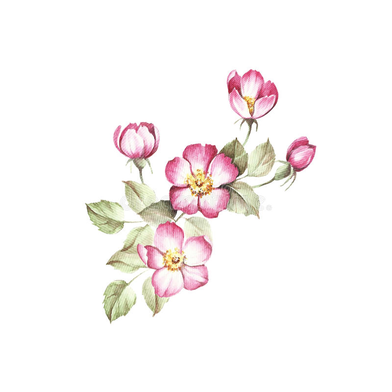 Kvist av rosa höfter Illustration för handattraktionvattenfärg royaltyfri illustrationer