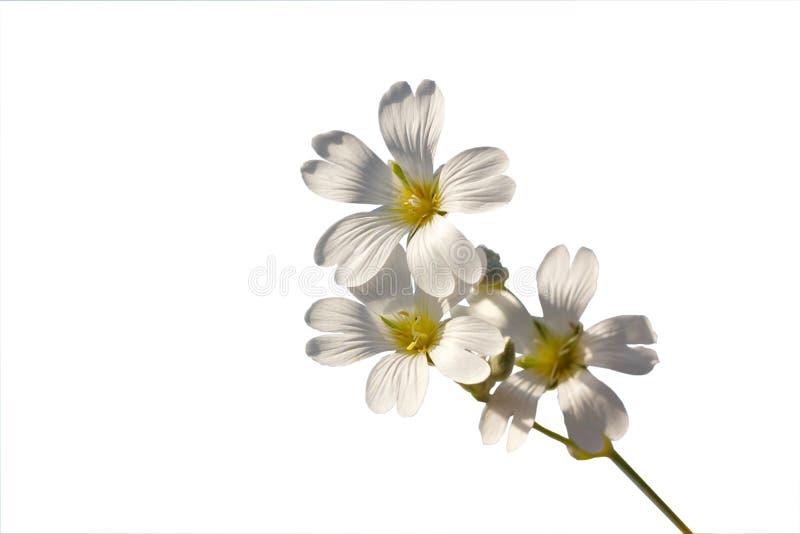 Kvist med vita blommor på en vit bakgrund royaltyfria foton