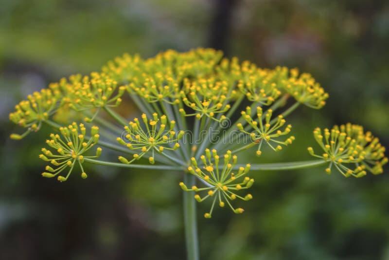 Kvistar av dill med inflorescences av frö Nära övre sikt med oskarp bakgrund royaltyfria bilder