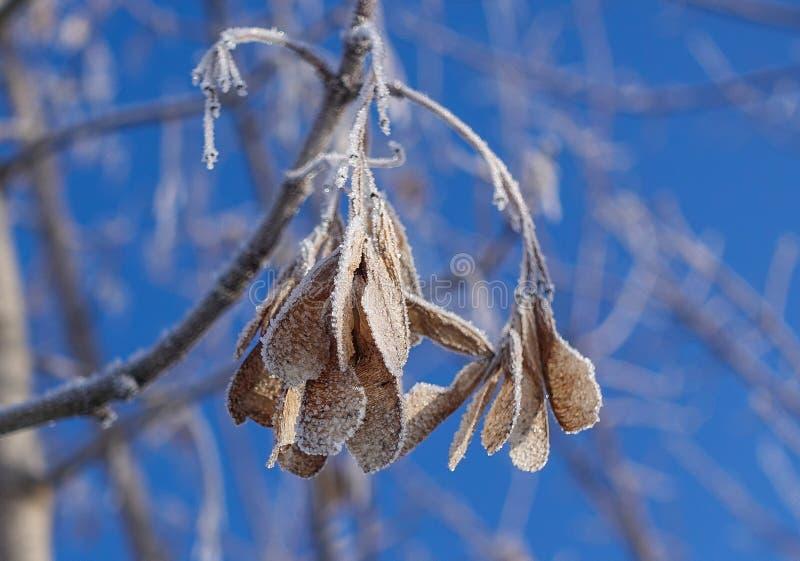 Kvistar av snö som täckas med blå klar himmel för rimfrost mot bakgrunden royaltyfria bilder