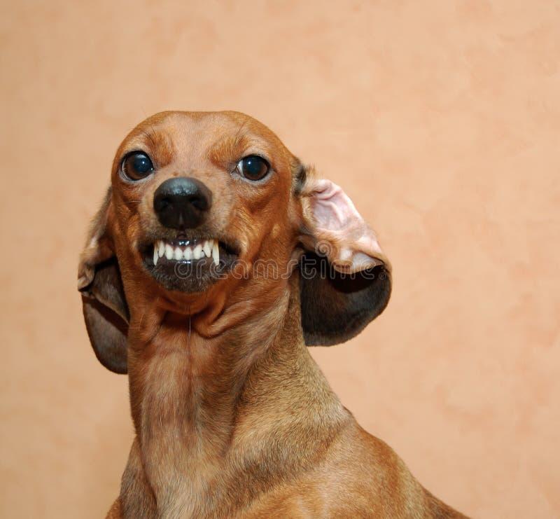 Kwade hond stock foto