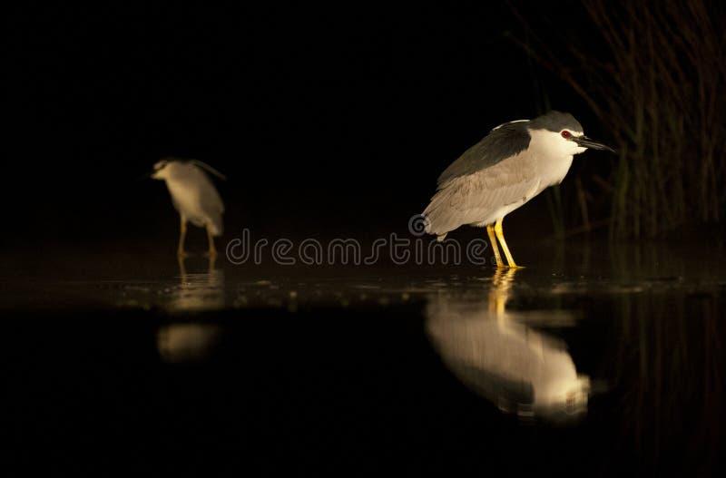 Kwak, Black-crowned Night Heron, Nycticorax nycticorax stock photos