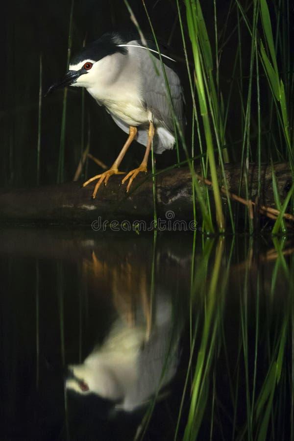 Kwak, Black-crowned Night Heron, Nycticorax nycticorax. Kwak jagend bij waterkant; Black-crowned Night Heron hunting at waterside royalty free stock image