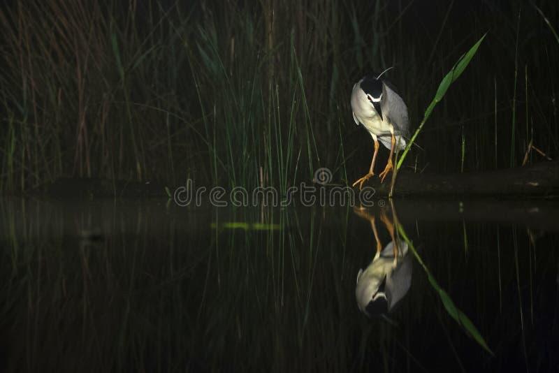 Kwak, Black-crowned Night Heron, Nycticorax nycticorax. Kwak jagend bij waterkant; Black-crowned Night Heron hunting at waterside stock photography