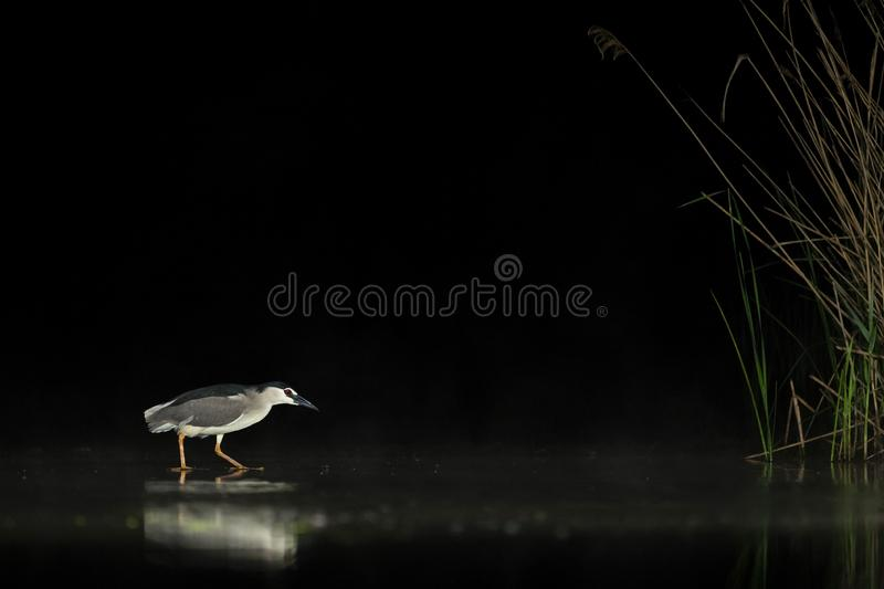 Kwak, Black-crowned Night Heron, Nycticorax nycticorax. Kwak jagend in water; Black-crowned Night Heron hunting in water stock images