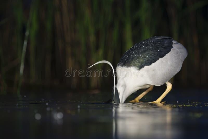 Kwak, Black-crowned Night Heron, Nycticorax nycticorax. Kwak jagend in water; Black-crowned Night Heron hunting in water royalty free stock image