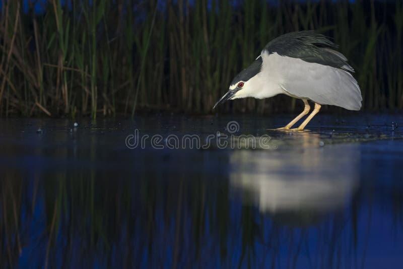 Kwak, Black-crowned Night Heron, Nycticorax nycticorax. Kwak jagend in water; Black-crowned Night Heron hunting in water stock photo