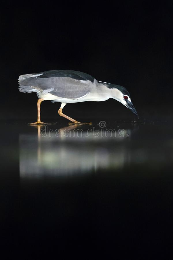 Kwak, Black-crowned Night Heron, Nycticorax nycticorax. Kwak jagend in water; Black-crowned Night Heron hunting in water stock image