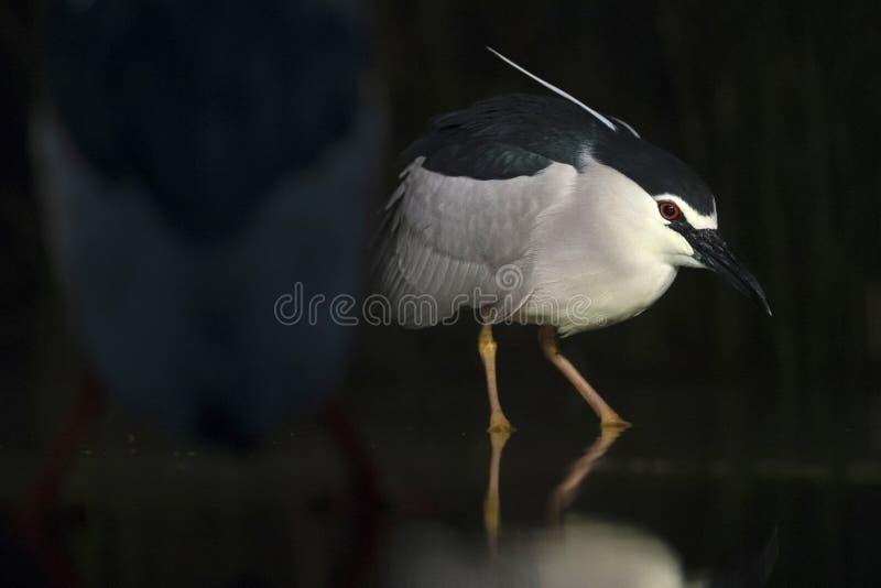 Kwak, Black-crowned Night Heron, Nycticorax nycticorax. Kwak jagend in water met soortgenoot in voorgrond; Black-crowned Night Heron hunting in water with stock photo