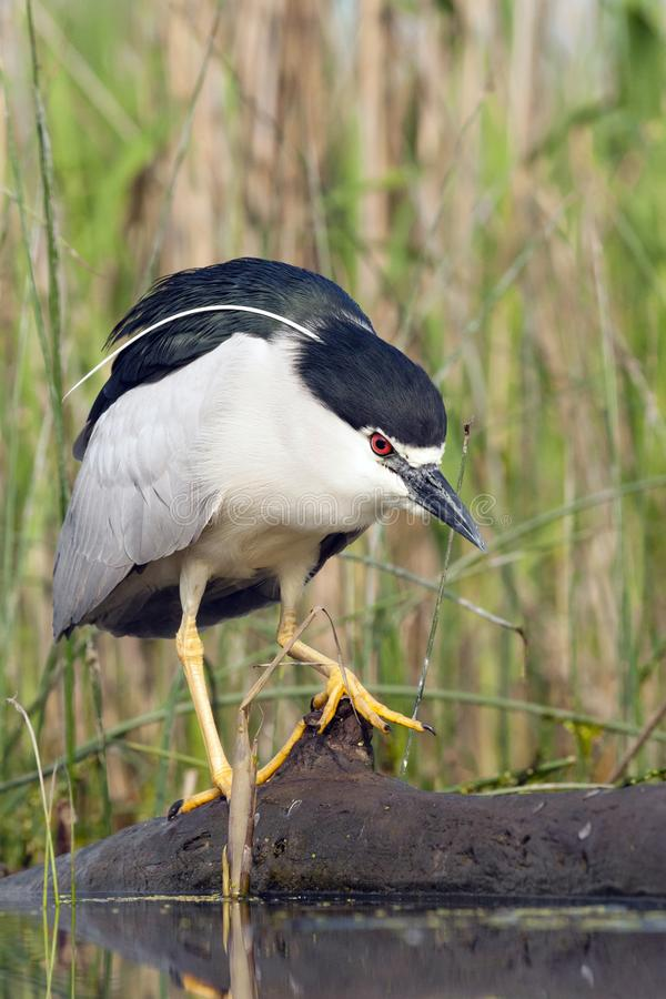 Kwak, Black-crowned Night Heron, Nycticorax nycticorax. Kwak lopend over omgevallen boomstam; Black-crowned Night Heron walking on falling tree trunk royalty free stock photography