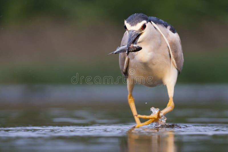 Kwak, Black-crowned Night Heron, Nycticorax nycticorax. Kwak lopend in water met vis in bek; Black-crowned Night Heron walking in water with fish in beak royalty free stock image