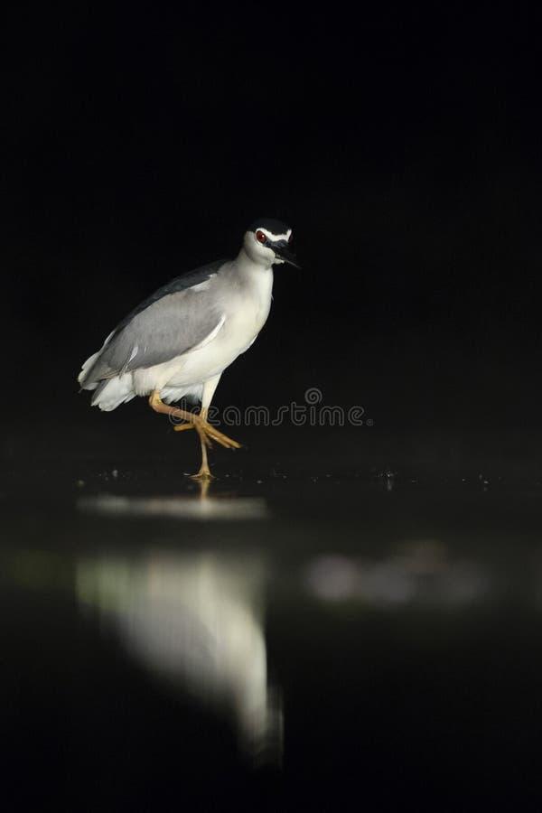 Kwak, Black-crowned Night Heron, Nycticorax nycticorax. Kwak lopend in water; Black-crowned Night Heron walking in water stock photography