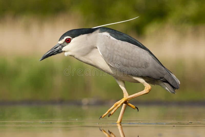 Kwak, Black-crowned Night Heron, Nycticorax nycticorax. Kwak lopend in water; Black-crowned Night Heron walking in water royalty free stock photos