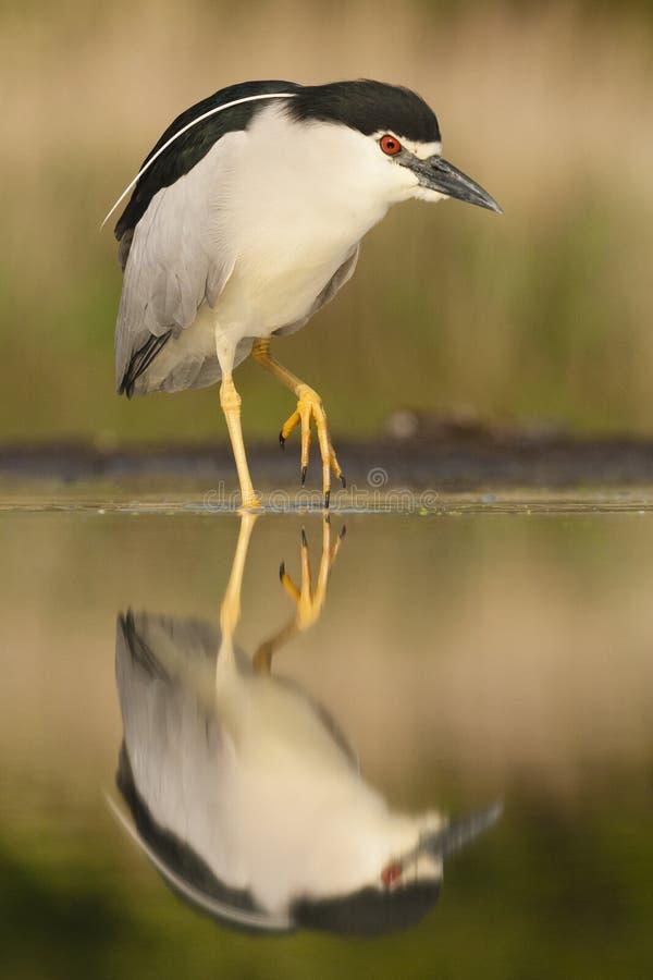 Kwak, Black-crowned Night Heron, Nycticorax nycticorax. Kwak lopend in water; Black-crowned Night Heron walking in water stock photo