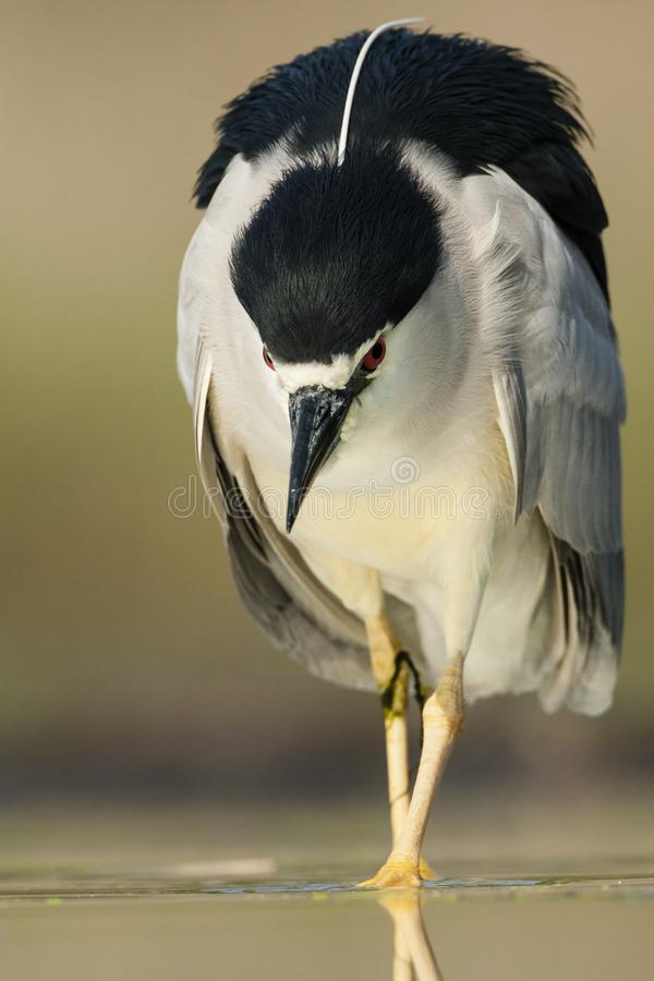 Kwak, Black-crowned Night Heron, Nycticorax nycticorax. Kwak lopend in water; Black-crowned Night Heron walking in water royalty free stock image