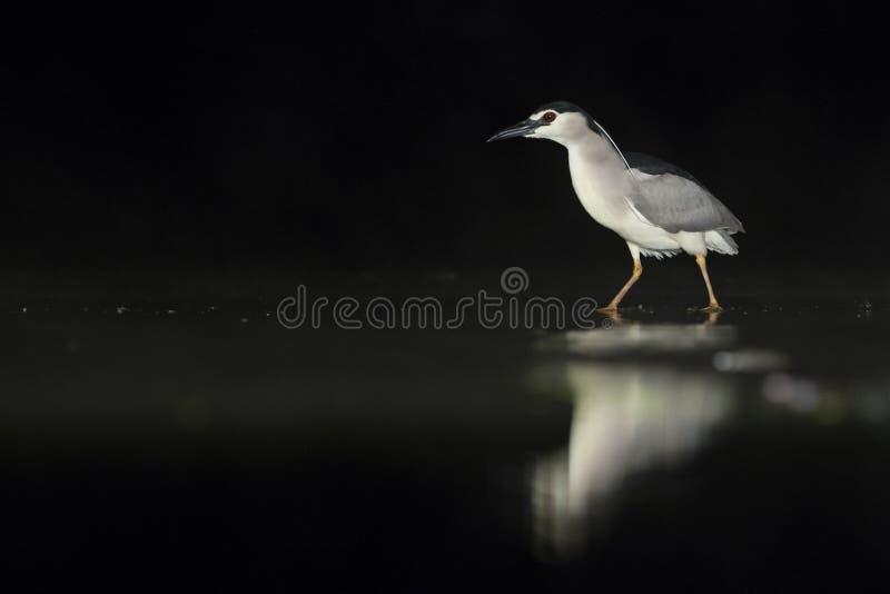 Kwak, Black-crowned Night Heron, Nycticorax nycticorax. Kwak lopend in water; Black-crowned Night Heron walking in water royalty free stock images