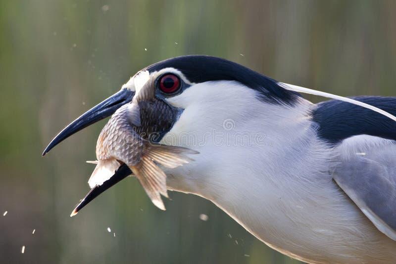 Kwak, Black-crowned Night Heron, Nycticorax nycticorax. Kwak met een grote vis in zijn snavel; Black-crowned Night Heron carrying a big fish in its beak stock photography