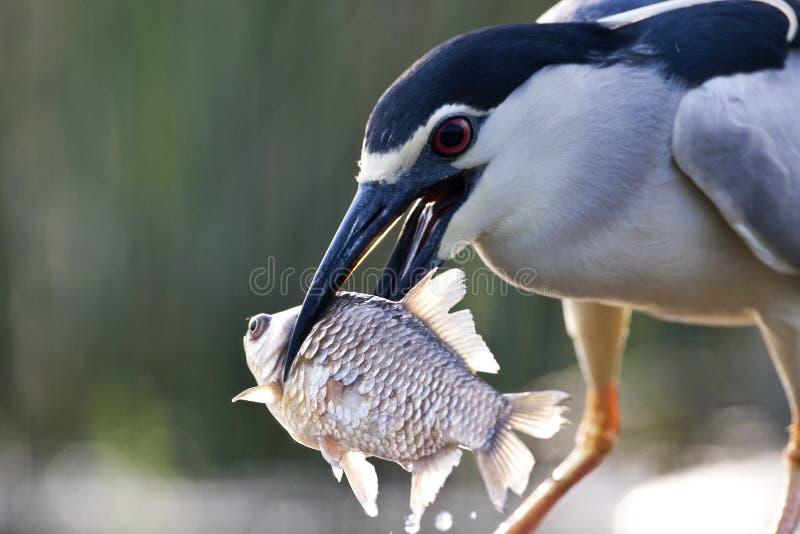 Kwak, Black-crowned Night Heron, Nycticorax nycticorax. Kwak met een grote vis in zijn snavel; Black-crowned Night Heron carrying a big fish in its beak stock photos